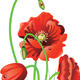 Poppy Flowers with Grass