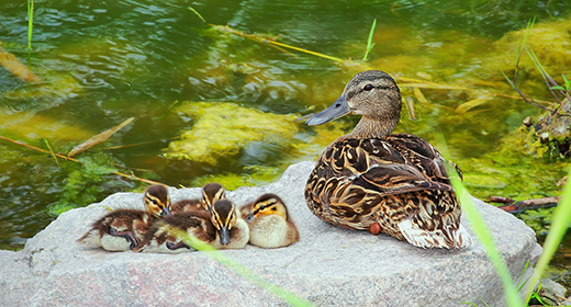 Waterfowl and ponds inhabitants