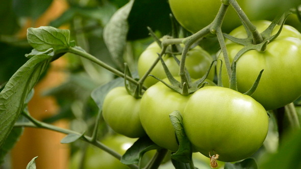 Tomato Fruit in Greenhouse