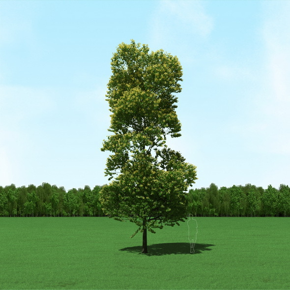 Blooming Tilia Linden Tree 3D Model