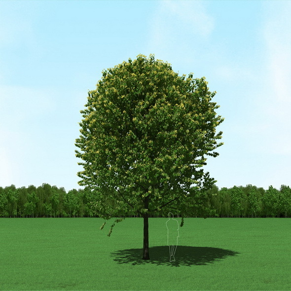 3DOcean Blooming Tilia Linden Free Tree 3D Model 11861356
