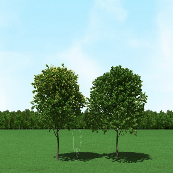 Blooming Tilia (Linden) Free Trees 3d Models - 3DOcean Item for Sale