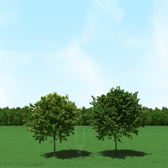 3DOcean Blooming Tilia Linden Trees 3D Models 11861377