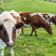 Cows in Field - PhotoDune Item for Sale