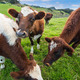 Cows Eating Grass - PhotoDune Item for Sale