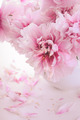 Pink peonies in vase - PhotoDune Item for Sale