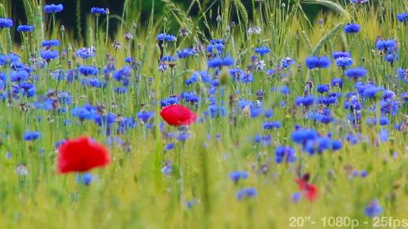 Cornflowers Poppies Barley