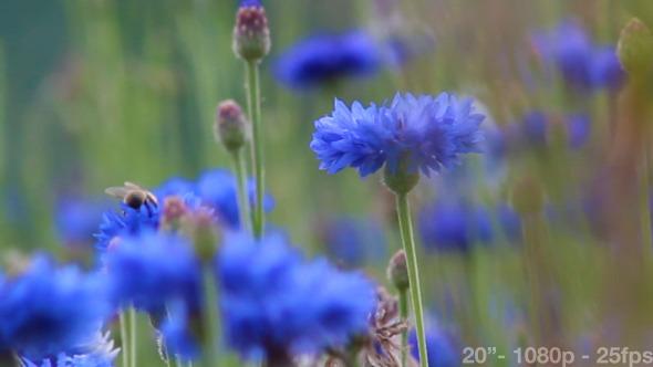 Bees on Cornflowers
