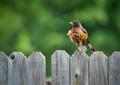 American Robin (Turdus migratorius) - PhotoDune Item for Sale