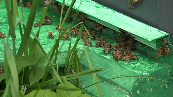 Honey Bees 9