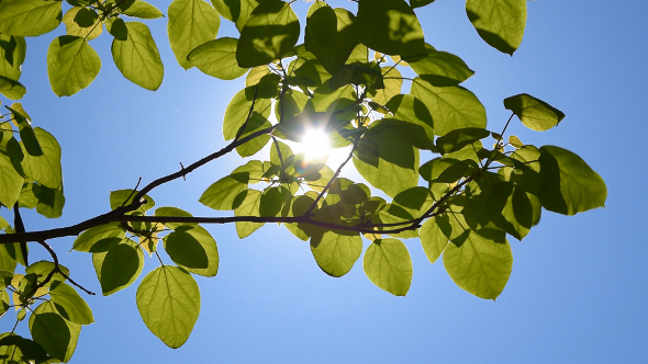 Leafs and Sun