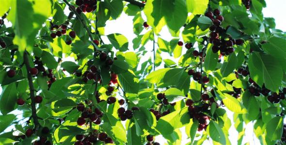 Mature Cherry 5