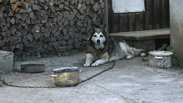 Old Dog in Village