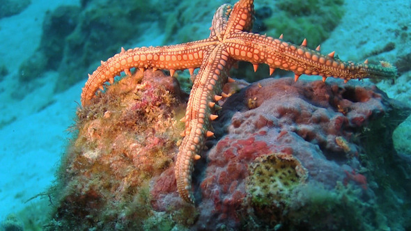 Tropical Starfish on Vibrant Coral Reef