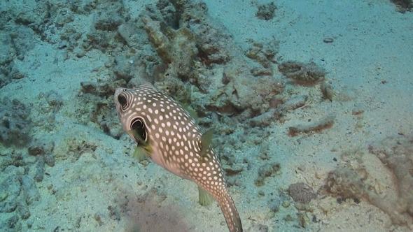 Pufferfish on Coral Reef