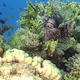 African lionfish on Coral Reef - VideoHive Item for Sale