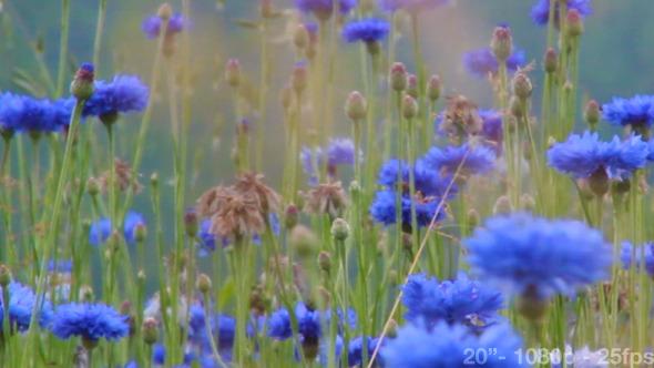 Cornflowers Field 02