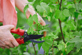 Cutting blackcurrant branches - PhotoDune Item for Sale