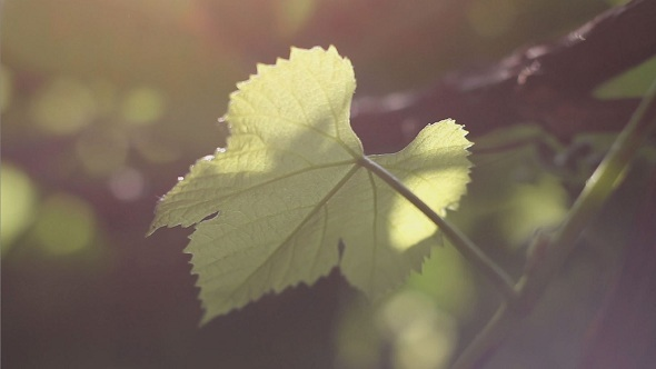 The Grape Leaf