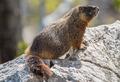 Yellow-bellied marmot - PhotoDune Item for Sale