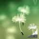 Fly Dandelions 1