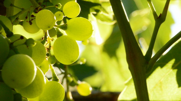 Wild Green Grapes
