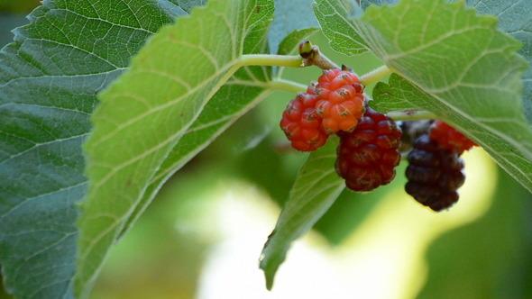 Natural Blackberries Hanging