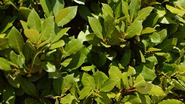 Laurel Leaves In The Wild