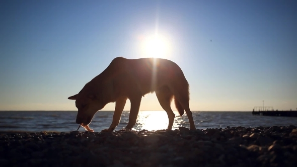 Homeless Dog Eats a Fish On a Sunset Beach At