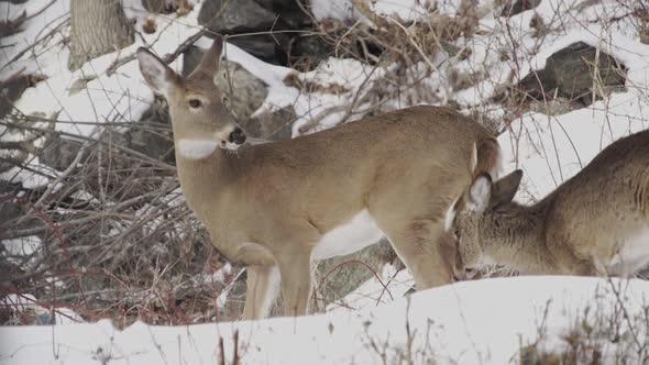 Scenes Of Deer In The Snow 1 Of 4
