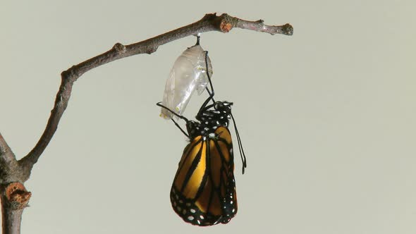 Monarch Butterfly Emerges Chry