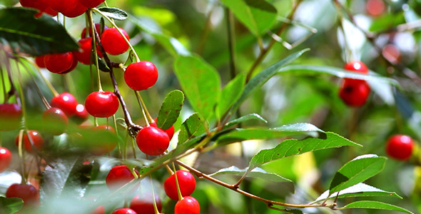 Cherry Fruit on a Tree in the Home Garden