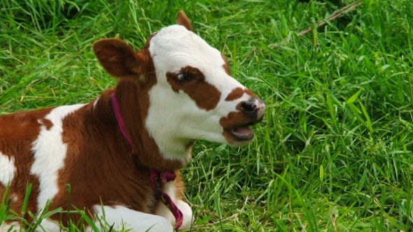 Chewing White And Brown Calf Lying On Green