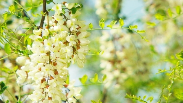 Branch With Flowers Of Acacia Swaying On Breeze