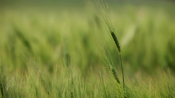 Summer Wheat Crops In Couthern Europe