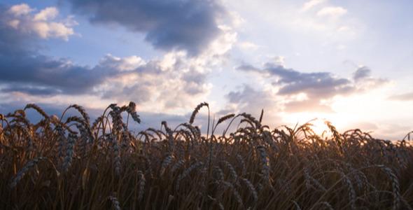 Field of Wheat 3