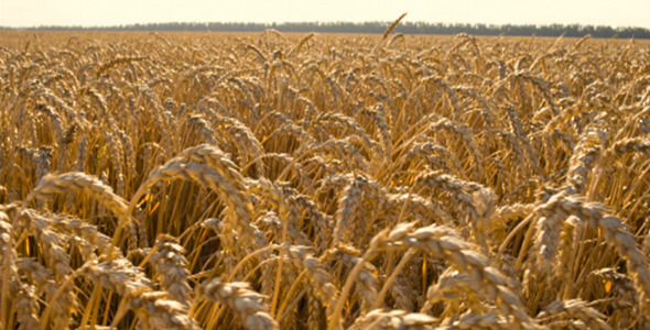 Field of Wheat 4