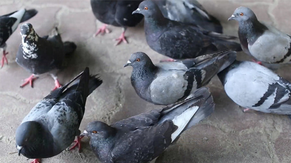 To Feed the Pigeons with Bread
