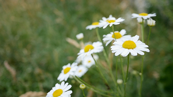 Daisy Flowers Dancing In The Wind