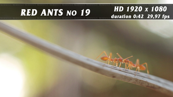 Red Ants No.19