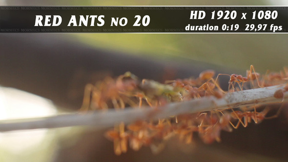 Red Ants No.20