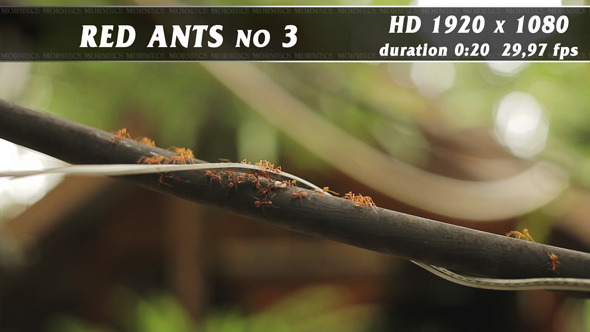 Red Ants No.3