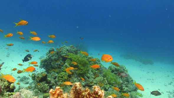 VideoHive Tropical Fish on Vibrant Coral Reef 12058528