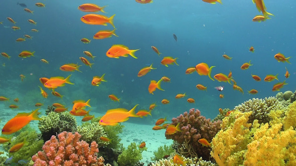 VideoHive Tropical Fish on Vibrant Coral Reef 12058655