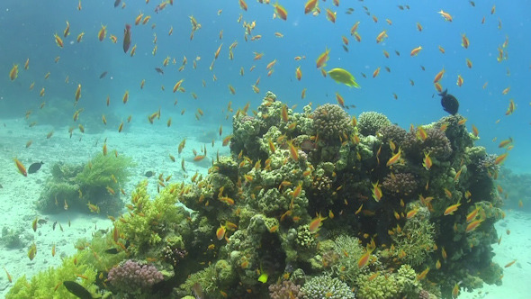 VideoHive Tropical Fish on Vibrant Coral Reef 12058756
