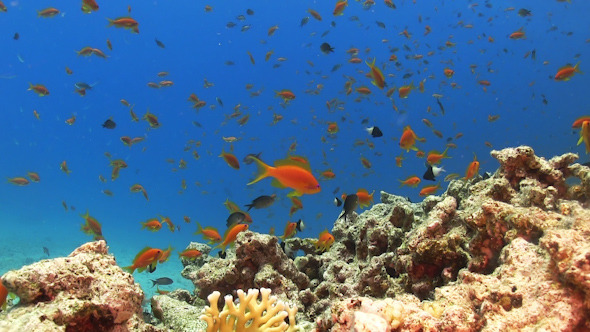VideoHive Tropical Fish on Vibrant Coral Reef 12058965