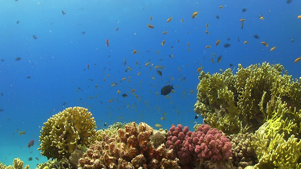 VideoHive Tropical Fish on Vibrant Coral Reef 12059227