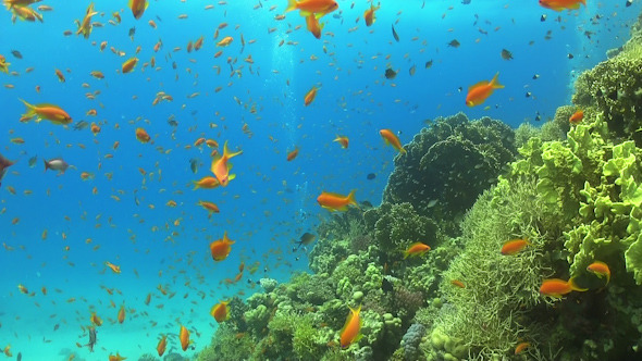 VideoHive Tropical Fish on Vibrant Coral Reef 12059990