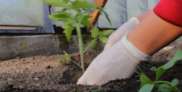 Planting a Tomato Sprout