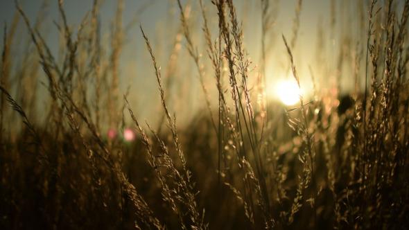 Wild Grass in the Sun